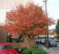 Autumn Billiance Serviceberry