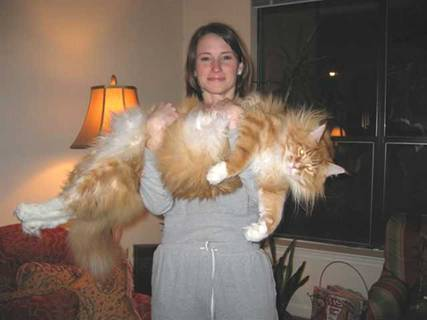 Huge Liger Is Also Named Hercules And Is Recognized By The Guiness Book Of  World Records As The Largest Cat On Earth, Weighing In At 900 Lbs (408 Kg).