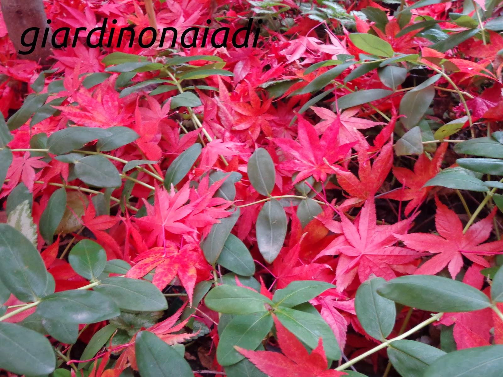 Il giardino delle naiadi momijigari a caccia di aceri for Aceri giapponesi