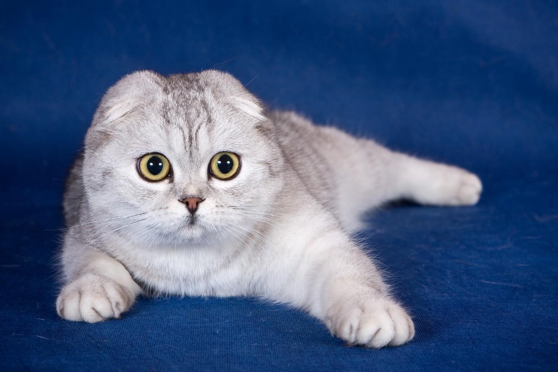 Британская кошка обои на рабочий стол 5