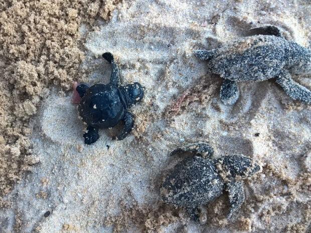 Ninho de tartarugas marinhas estourou fora de época em praia de Porto Seguro (Foto: Fiscalização Ambiental de Porto Seguro/Divulgação)