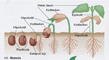 Belajar Kuy Perkecambahan Epigeal Dan Hipogeal