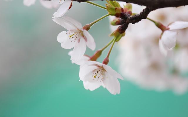 Hermosas Fotos de Flores Blancas - Imágenes de Flores en HD