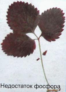 клубника - недостаток фосфора