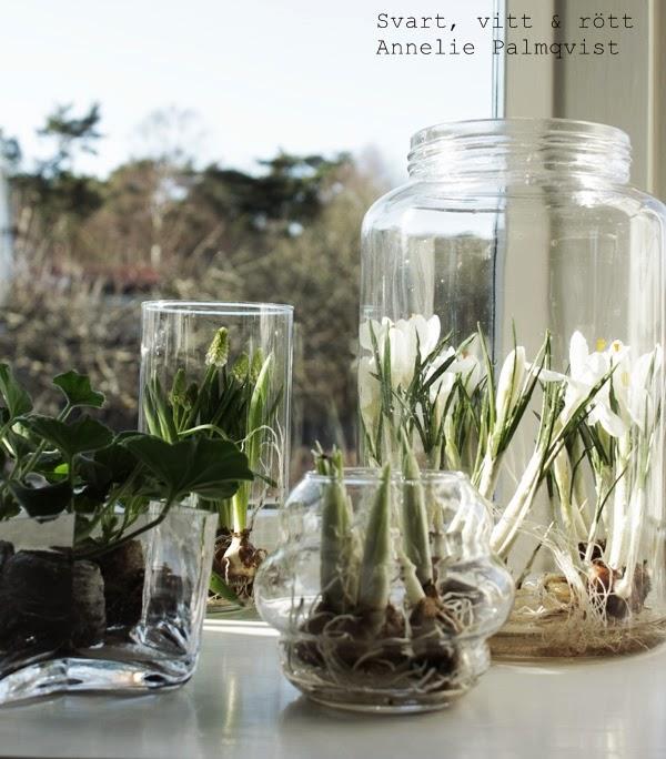 vårlökar, plantering, tips, inspiration, blommor, ha rötterna synliga i krukan, i fönstret, fins i grupp, burspråk, glasburkar, plantera, planteringar, blomsterlandet, krokus,