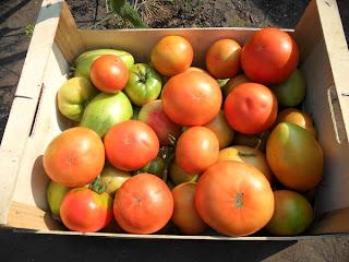 Последний сбор помидоров