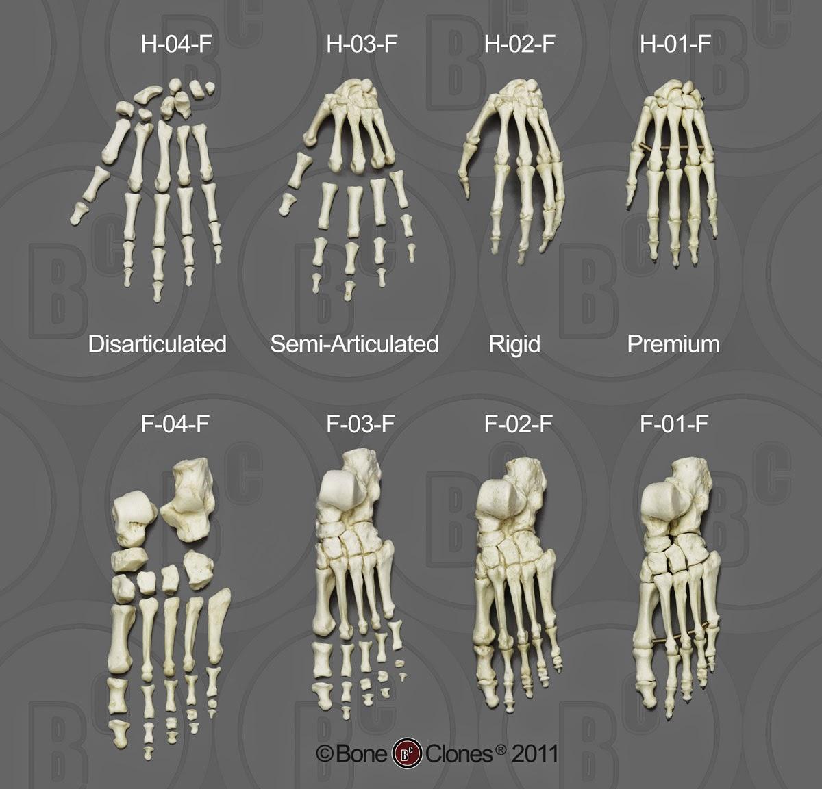 Hands and feet bones