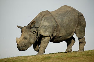 Left in a pool of its own blood: One-horned Rhino brutalised by Indian ...