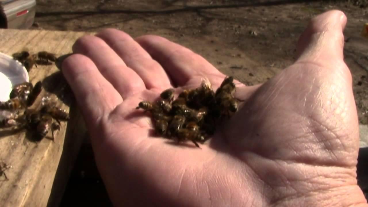 Δείτε πως σκοτώνουν οι εργάτριες-μέλισσες τη Βασίλισσά τους!