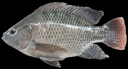 Ikan Nila abu