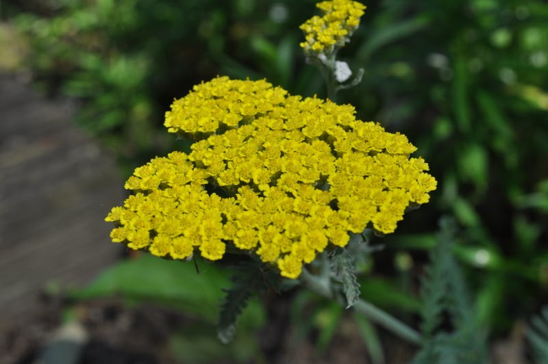 Temperate Climate Permaculture: Permaculture Plants: Yarrow Yarrow Plant Yellow