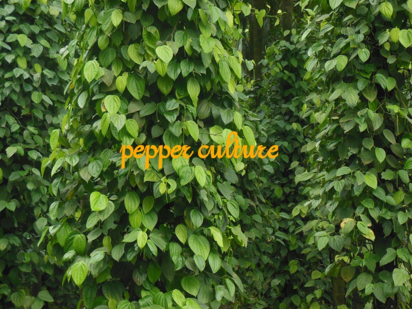 pepper culture