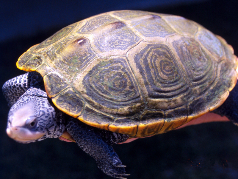 Pet Turtles : Whats the distinction among turtles and terrapin?