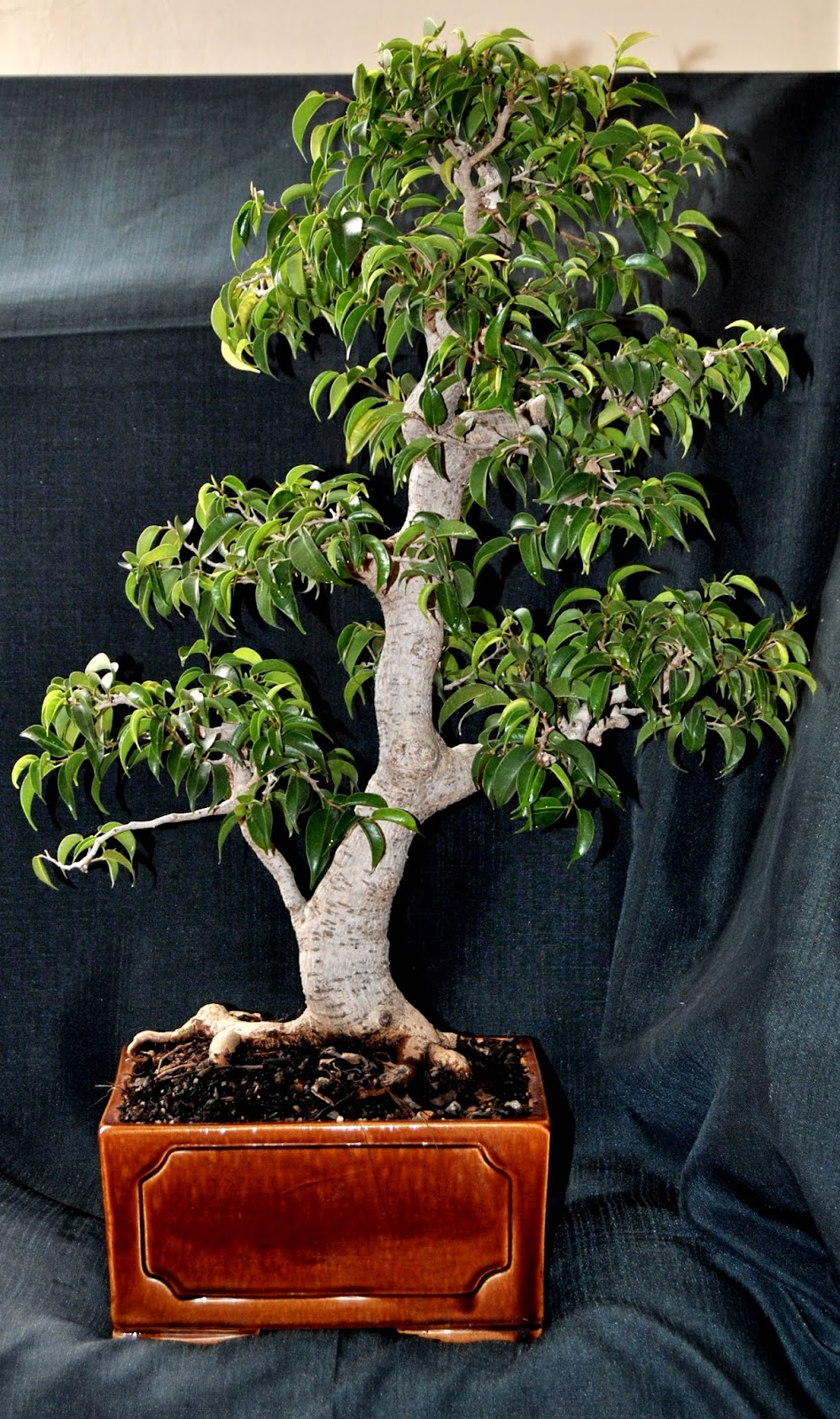 Ficus Benjamina Var QuotWiandiquot Cinderella Of The Species As