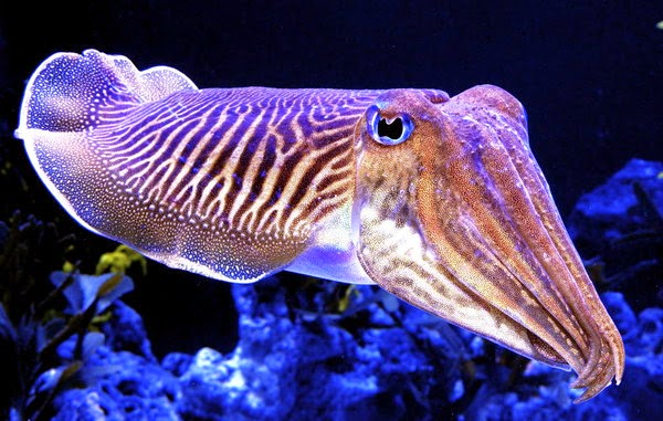 sotong-cuttlefish-sepia sp.