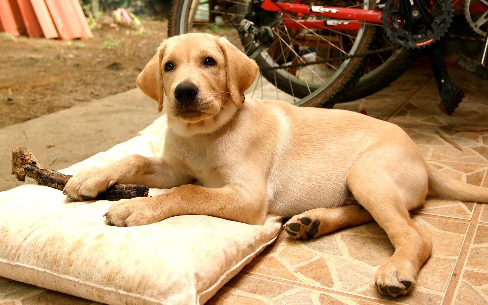 Bruine hond lekker aan het rusten op een kussen | hd hond wallpaper