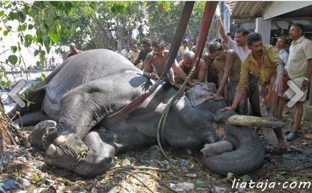 Aksi dramatis penyelamatan gajah | liataja.com