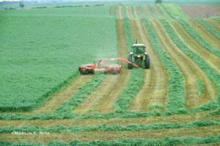 Sejarah dan Manfaat Alfaafa / Alfalfa