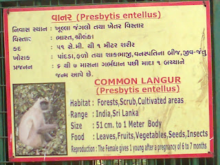 indian monkey information
