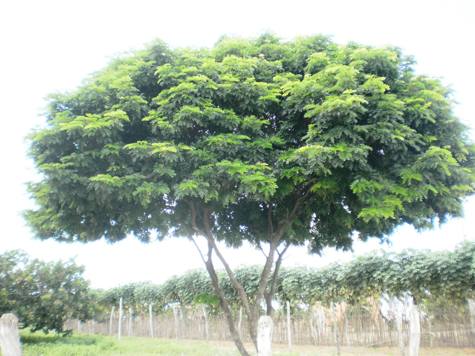 Pau Brasil Caesalpínia echinata Lam #6A9536 1600x1200