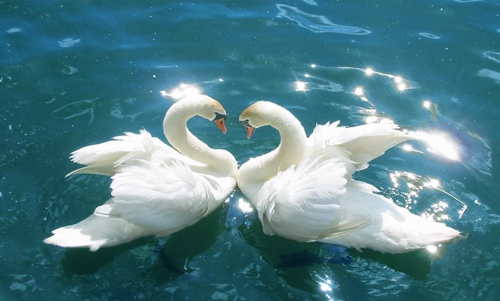 Зоопарк Казани выпустил в город шесть лебедей