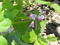 fiori di fagioli