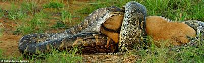 ular sawa telan anak seladang