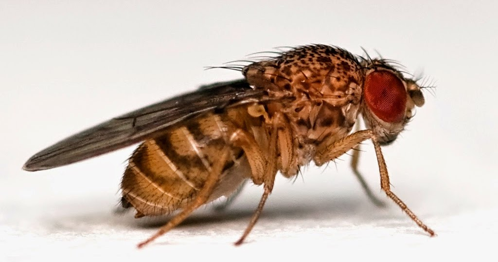 fruit fly research paper Drosophila use in genetic research drosophila melanogaster since the fruit fly was selected for study nearly a hundred (the jar, the filter paper, etc.