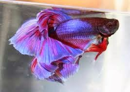 About your pet for Betta fish dropsy
