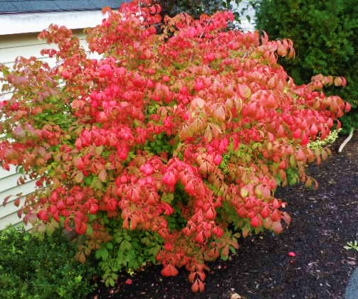 Burning bush plant in winter