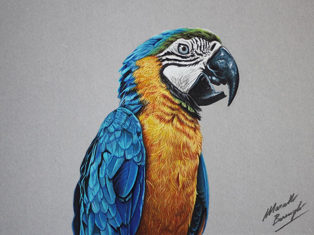 Blue Macaw Drawing Marcello Barenghi: Blu...