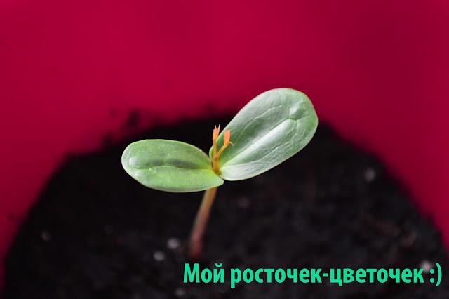 Рожковое дерево, плоды рожкового дерева, камедь рожкового дерева, выращивание рожкового дерева из семян, как вырастить рожковое дерево