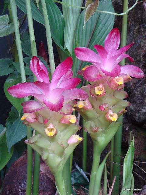 Arrowroot Flower