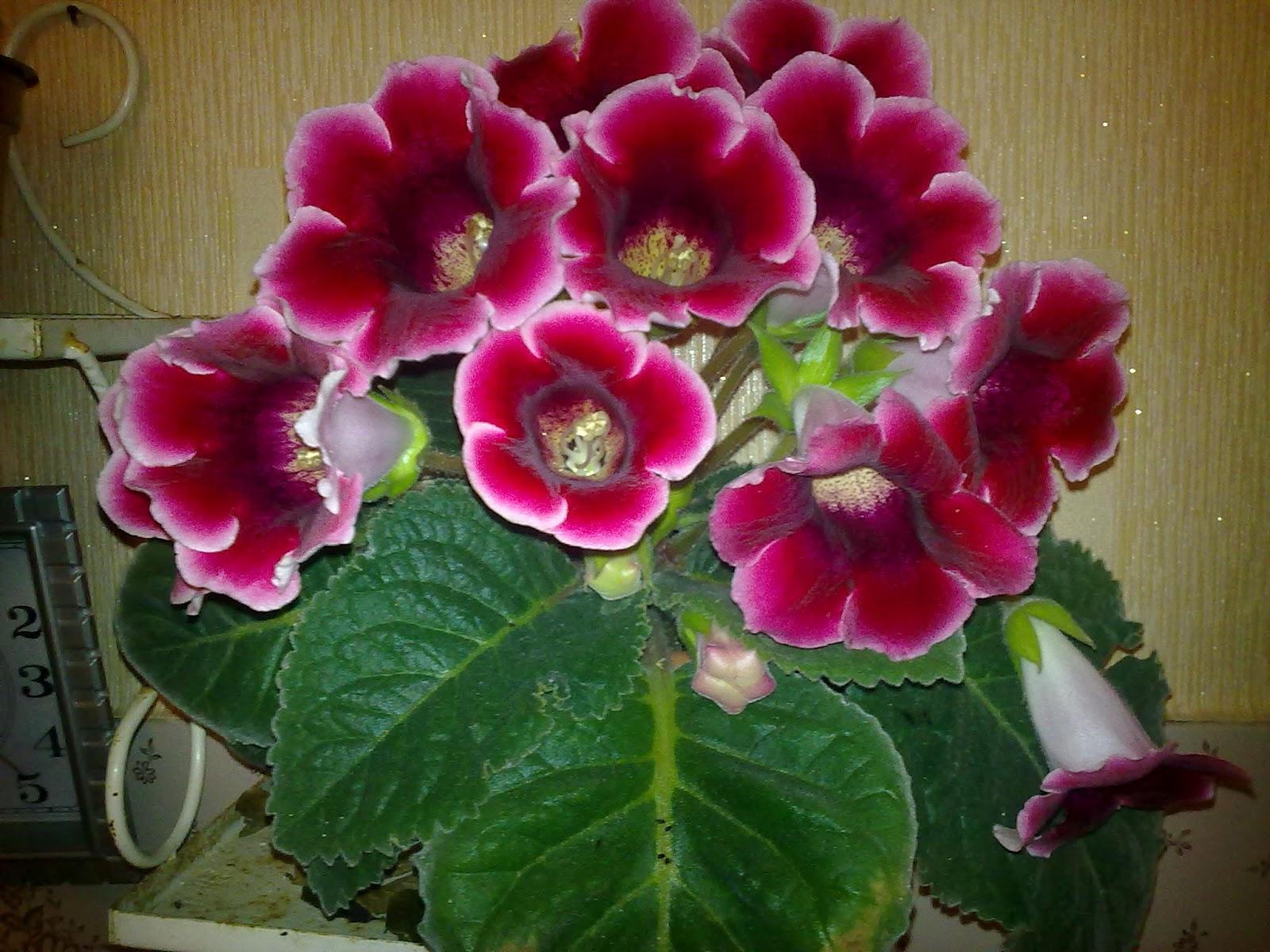 Цветок глоксиния - Комнатные цветы и растения, уход за ними в 28