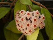 Las flores de la planta de la cera