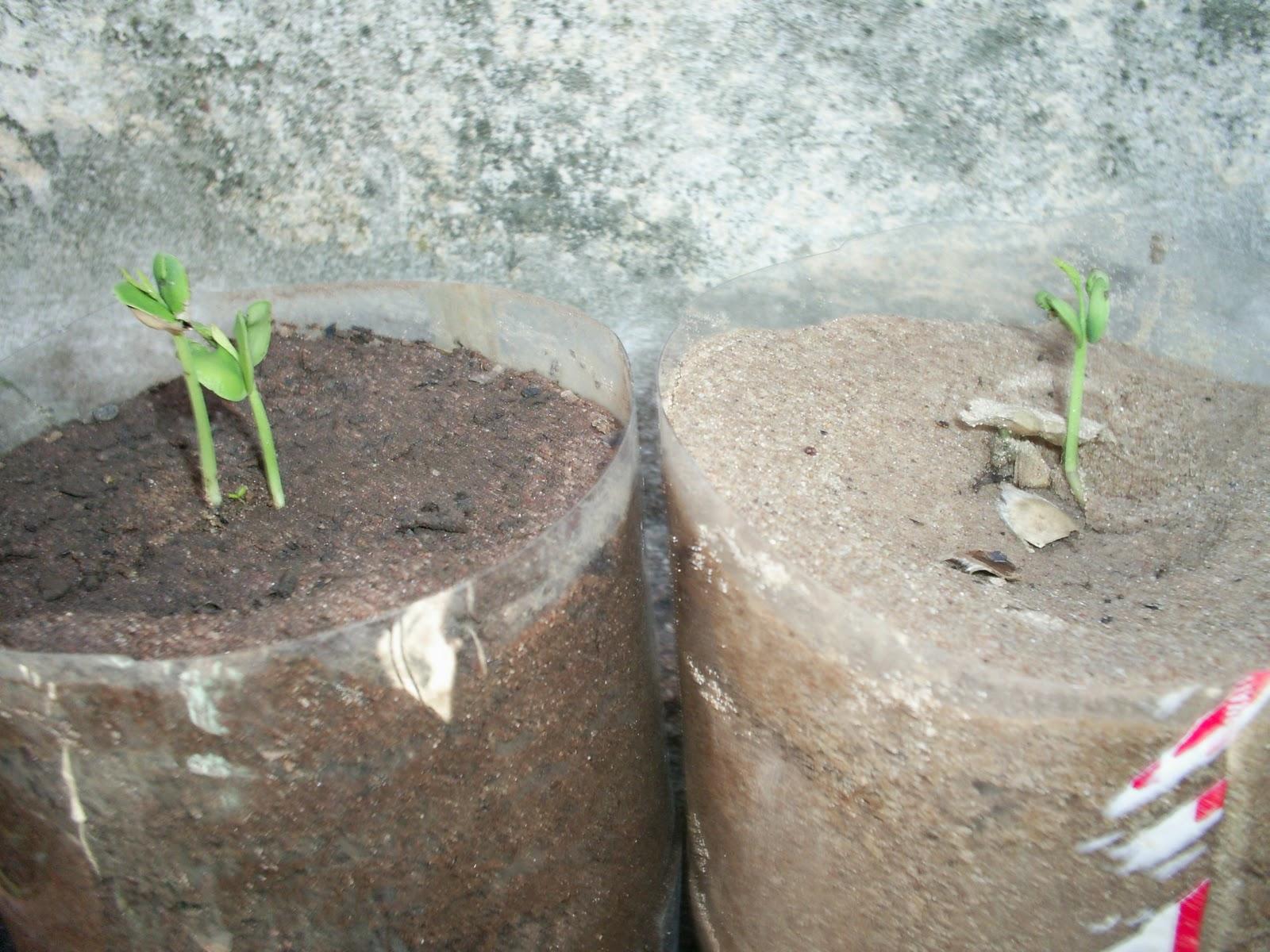 Como Plantar Sementes de Ipês Rosa,Roxo,Amarelo,Etc. 01