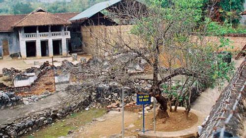 Cây đào do đồng chí Tô Hiệu trồng tại nhà tù Sơn La.