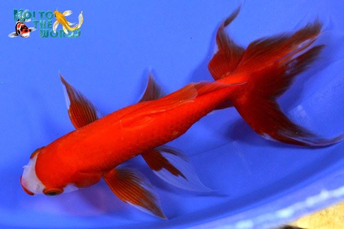 Koi to the world watonai goldfish for Koi und goldfisch