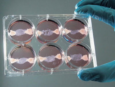 Carne de proveta cultivada a partir de células fetales de bovinos