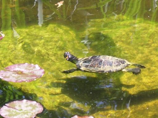 mon petit bassin de jardin: tortue de floride