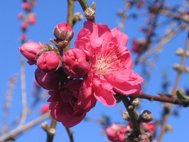 Ảnh đẹp hoa đào rộn ràng ngày tết hòa đào, hình hoa đào, ảnh hoa đào, hình ảnh hoa đào tuyệt đẹp ngày tết