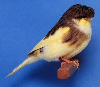 gloster-canario-raro-animales-raros