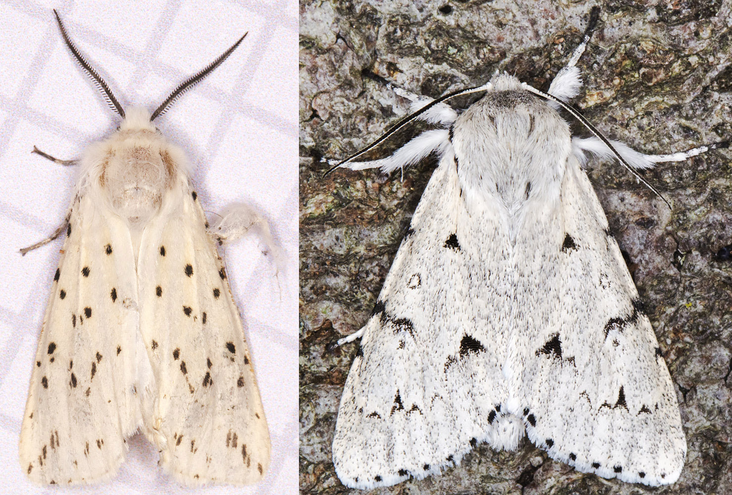 White Ermine, Spilosoma lubricipeda, and The Miller,  Acronicta lepirona.  Hayes,  June 2014.