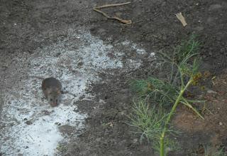 Мышь лакомится мукой