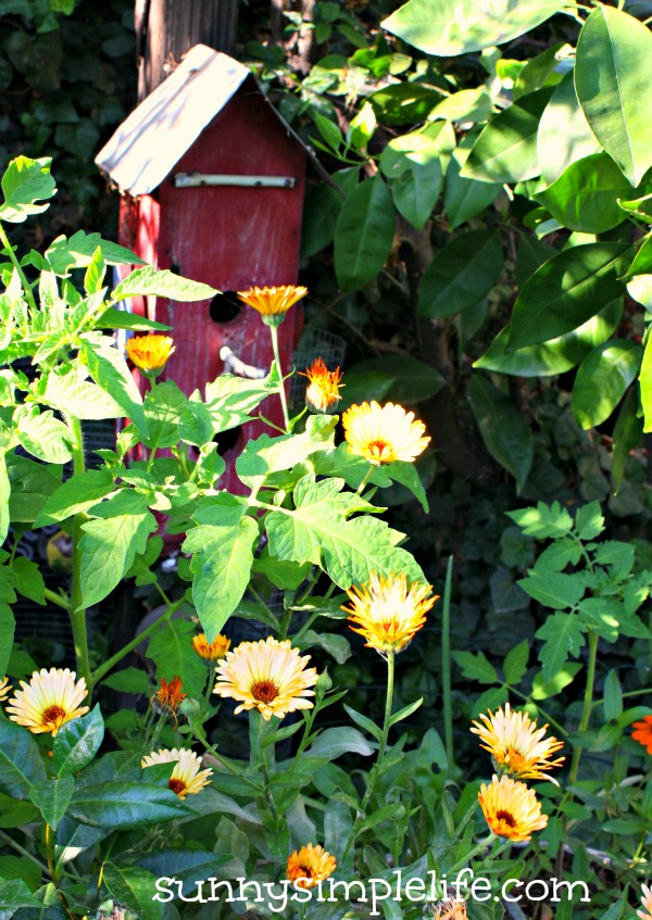 A Week In The Garden - Chicken Update, calendula