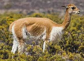 South American Camel
