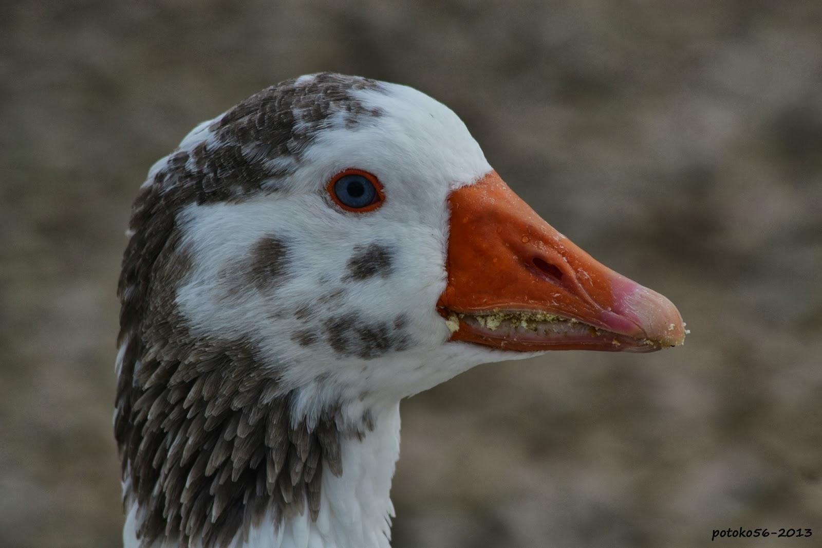 pato en el Parque Laguna del Moral Rota