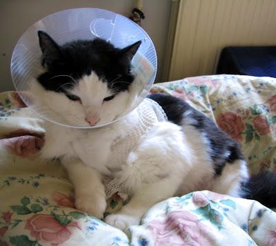 E-Collar adalah kalung berbentuk corong yang sering dipakaikan pada kucing