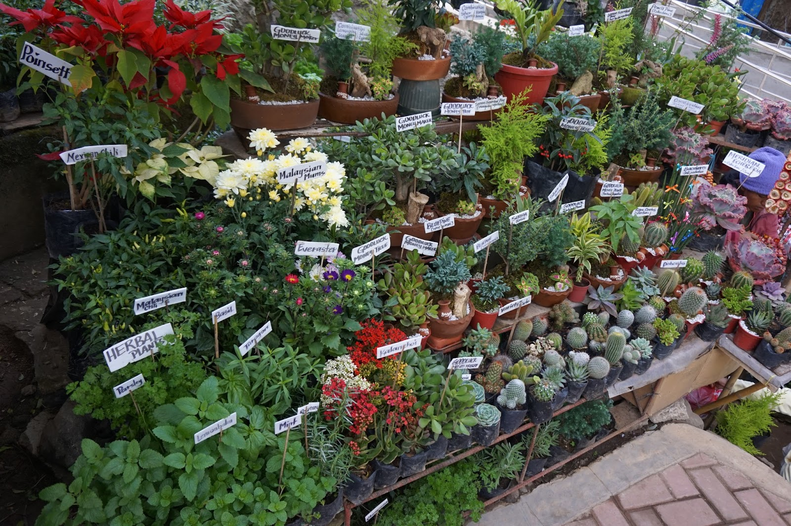 Cacti, Echeveria, Succulents, and Herbal Plants