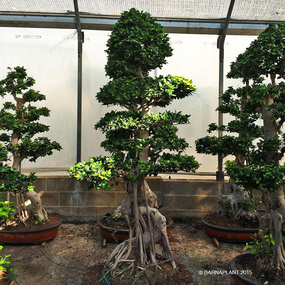 Barnaplant Galeras Ficus Microcarpa Quotginsengquot Bonsai Quotpequeos Y